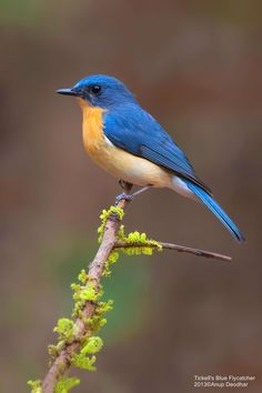 The very blue by Anup Deodhar ~ Tickell's Blue Flycatcher*- Seen Kitulgala, Surrey Bird Sanctuary and Sigiriya Tropical Birds, Exotic Birds, Colorful Birds, Cute Birds, Pretty Birds, Beautiful Birds, Kinds Of Birds, Tier Fotos, Bird Pictures