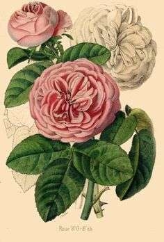 Illustrated Book Plate Illustration from Revue Horticole 1800s - Botanical Print - 17 - HAND COLORED ROSE
