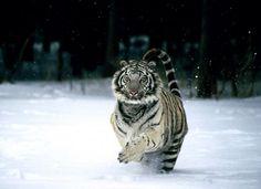 http://ucrazy.ru/foto/1149445444-podborka_kartinok__tigry_mnogo.html