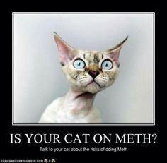 Cat on meth