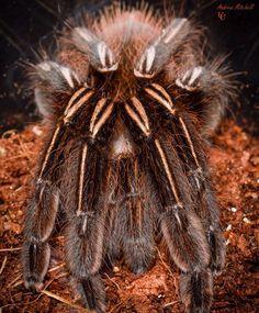 Skeleton Tarantula