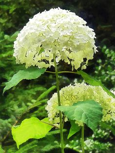 White Hydrangea in Garden : Fine Art Prints by Susan Savad - Hydrangeas are not only a beautiful garden plants but also used as an herb. In the language of flowers, hydrangea symbolizes heartfelt emotions. #gardener #landscaper #landscapist #horticulture #horticulurist