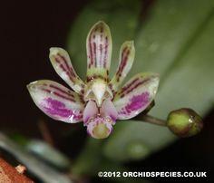 Phalaenopsis (Kingidium) minus