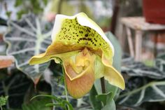 """Paphiopedilum Peter Pernar x Kay Day (photo by Chris Eirschele) from the article """"Eerie and Unusual Plants Kids Will Love to Grow: Even After Halloween"""" read on Decoded Parenting."""