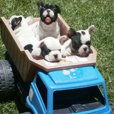 French Bulldog Puppies in a Dump Truck.