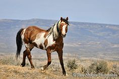 Mustang stallion Picasso