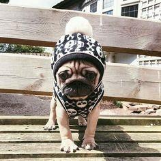 Pugs = drugs