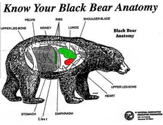 Black Bear Hunting Shot Placement
