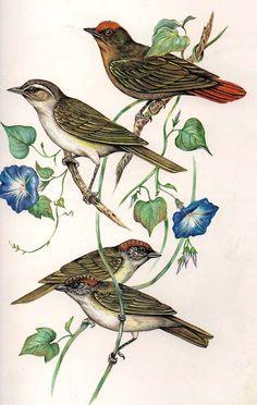 Uirapuru-verdadeiro-Juruviara-Verdinho-coroado
