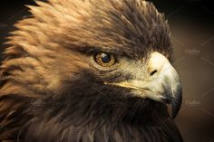Golden Eagle by ACF Photography & Designs on @creativemarket