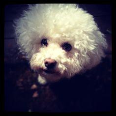 Lily-Monet, the #Bichon Frise #puppy #dog