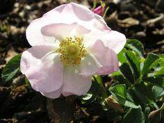 Rosa accicularis/Polarrosen Buskros Skuggtålig 120-150 cm sommar Zon 8 FRITIDSGRUND MÅNGA NYPON