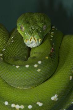 Green tree python #reptile #snake