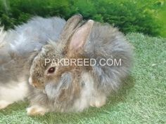 Pakbreed - Sell and Buy top breeds in Pakistan National Animal, Buy Birds, Buy Pets, Livestock, Goats, Things To Sell, Friends, Animals, Amigos