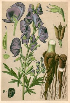 1901 Antique Botanical Print Aconitum Napellus by Craftissimo