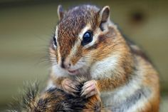 slides/IMG_4854.JPG wildlife, fur, chipmunk, cute, small, eye WM17 - Chipmunk