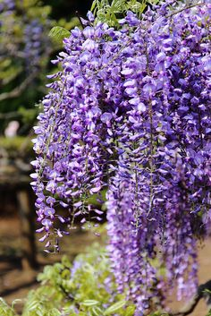 Wisteria  Every ones favourite. Purple, Pink, White, Blue.  Just Stunning in full bloom. LM