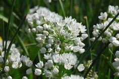 Naples Garlic Seeds ALLIUM NEAPOLITANUM,( SEEDS ) also known As, Naples Garlic, Daffodil Garlic, False Garlic, Guernsey Star-of-Bethlehem, by CaribbeanGarden on Etsy https://www.etsy.com/listing/249546640/naples-garlic-seeds-allium-neapolitanum