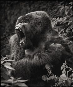 "By Nick Brandt, 2008 ~ Miks' Pics ""Animals lV"" board @ http://www.pinterest.com/msmgish/animals-lv/"