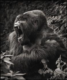 Gorilla Baring Teeth, Parc des Volcans, 2008 Nick Brandt