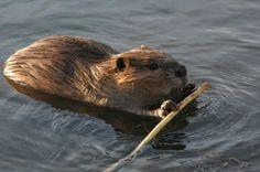 """Beaver."""