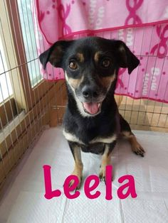 Leela is an adoptable Chihuahua searching for a forever family near Smithtown, NY. Use Petfinder to find adoptable pets in your area.