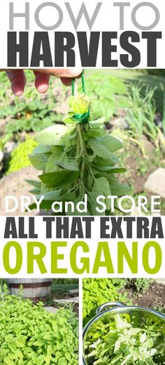 How to harvest and dry all that extra oregano from the garden so you can use it all winter long!