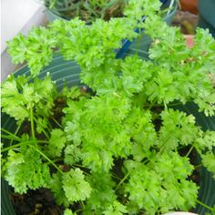 Parsley: Petroselinum crispum Parsley leaves and root are high in iron content and rich in vitamins A, B, C and trace minerals. Parsley adds color and aids digestion of the foods we eat and acts to prevent gas and bloating.    diuretic, helps gout and rheumatism. Parsley does inhibit the histamines that trigger allergies so may help treat sinus infection and congestion. Don't take medicinal (mega) doses if pregnant