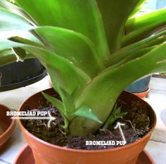 """Beginner's Guide to Bromeliad Pups"" - how to harvest and replant bromeliad shootoffs, which I need to do pretty soon!"