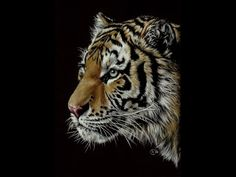 How to draw a tiger on black paper with colored pencils on black paper.