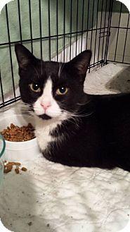 Clarkson, KY - Domestic Shorthair. Meet Dooley, a cat for adoption. http://www.adoptapet.com/pet/13423228-clarkson-kentucky-cat
