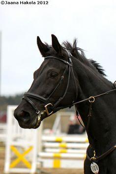 Sobieczara-W, black 2001 Wielkopolski mare  || black jumper | cheval noir
