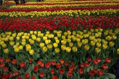 Tulipany w Keukenhof, rok 2015. Holandia.