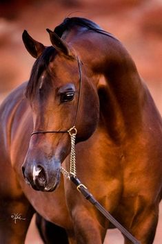Feather Arabians :: Arabian Horses, Stallions, Farms, Arabians, for sale - Arabian Horse Network, www.arabhorse.com
