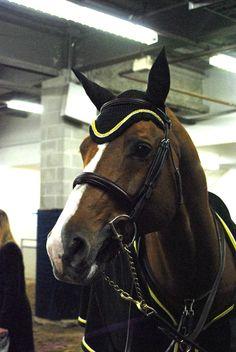 Lansdowne. Horse babe. DLC fly bonnet. Royal Winter Fair 2012.