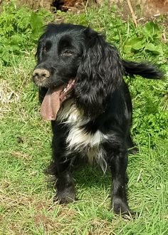 Working cocker spaniel.
