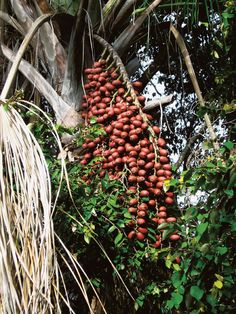 The buriti's scientific name is Mauritia flexuosa L. f.    But it's also known by several other names like: miriti, moriti, muriti, boriti, coqueiro-buriti, carandá-guaçu, carandaí-guaçu, palmeira-dos-brejos. The fruit is an important ingredient in several of AmazonDrops organic skin care products.