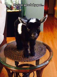 Tiny baby goat…