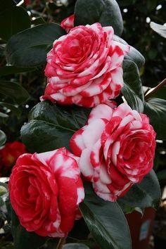 Camelia japonica 'Professore Giovanni Santarelli' (Italy, just planted 2 this Beautiful Rose Flowers, Flowers Nature, Exotic Flowers, Amazing Flowers, Camelia Rosa, Rosa Rose, My Flower, Flower Power, Camellia Plant