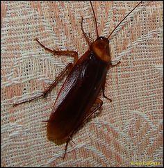 Roach 3: Blattella asahinai (Asian cockroach) I always thought ...