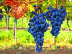 in Bad Vöslau, Lower Austria Bad Vöslau, White Wine, Red Wine, Grape Plant, New Years Traditions, Puzzle Of The Day, Blue Fruits, Italy Travel Tips, Fruits And Veggies
