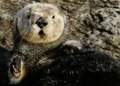 sea otters. does it get any cuter?