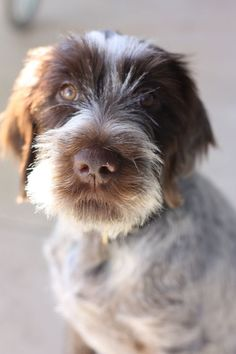 Wire Haired Pointing Griffon | The Gallivant Blog www.thegallivant.net: