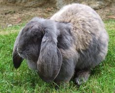 Almost bought one of these yesterday huge bunny asked what kind was told French Giant