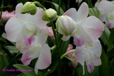Dendrobium orchid pink bicolored http://www.orchids-flowers.com/wp-content/gallery/orchid-flower/dendrobium-pink-nagarindra.jpg