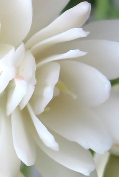 tuberose, what a great smelling garden flower.