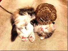 Owlet and kitten friendship (7)