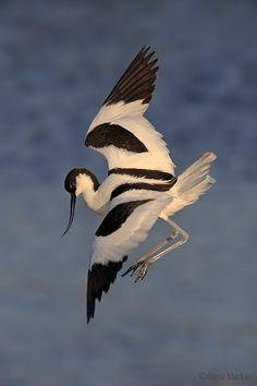 A Pied Avocet ~ In-Flight.