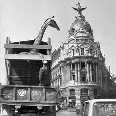 ¡Muy buenos días! No sé si aún estoy soñando pero me ha parecido ver una jirafa junto al Edificio Metrópolis #madrid Foto Madrid, Like Image, Photo B, Famous Photographers, Historical Photos, Old Pictures, Valencia, Spanish, Barcelona