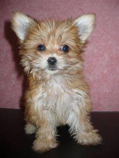 Pomeranian Dog Breed Information Cute baby animals
